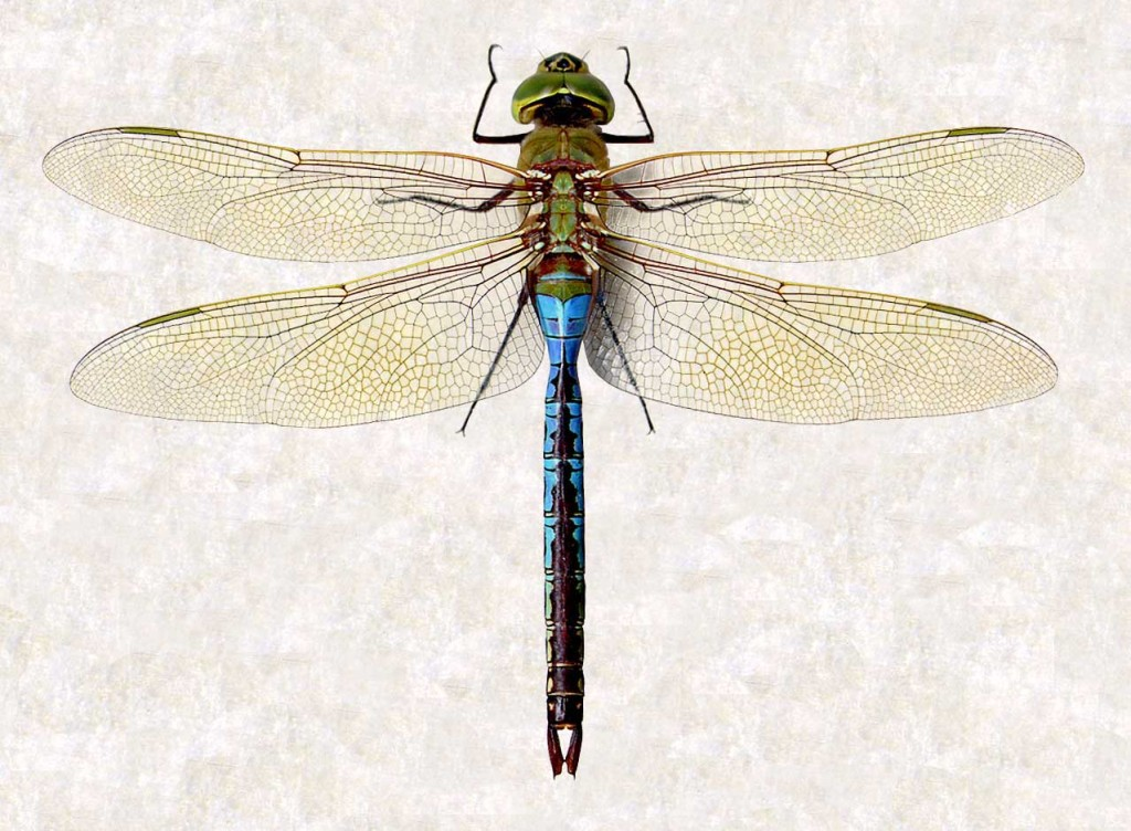 Dragonfly  Wikipedia