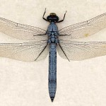 Genus ErythemisErythemis collocata mtv