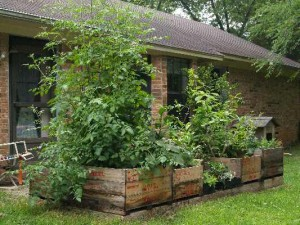 A patio vegetable garden in scrounged wooden boxes