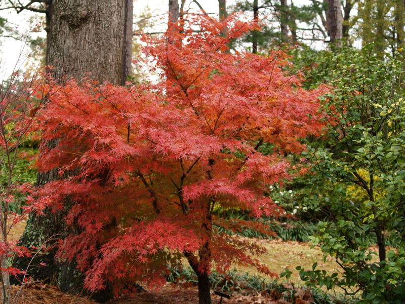 Color your landscape every fall east texas gardening - Decorative small trees for landscaping ...