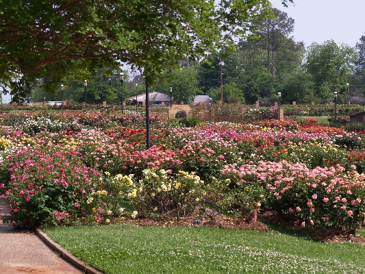 Tyler Rose Garden coming into full bloom.