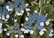 Delicate lacecap blooms highlight this variegated hydrangea
