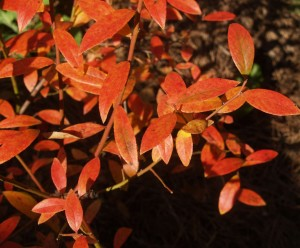 Attractive blueberry foliage in the fall.