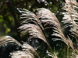 Miscanthus blooms backlit by sunlight