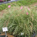 Pennisetum (Proven Winners Graceful Grasses Collection) - Sky Rocket, an attractive variegated annual grass scored several votes.
