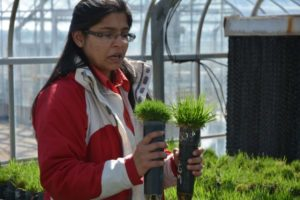 Turf grass breeder Dr. Ambika Chandra in the greenhouse at the Texas A&M AgriLife Research and Extension Center in Dallas. Kathleen Phillips/TAMU AgriLife Research