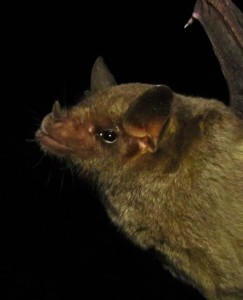 The endangered Mexican long-nosed bat (Leptonycteris nivalis) is  the central focus of my current research. Photo credit: Emma Gomez-Ruiz