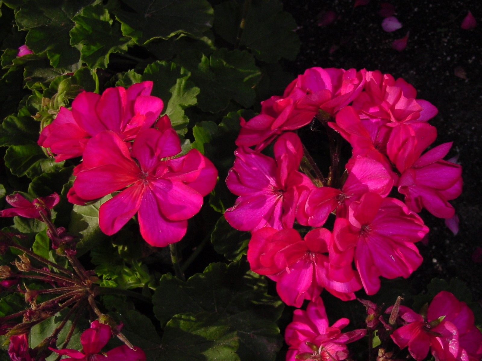 The First Truly Heat Tolerant Geraniums In The World Urban Program