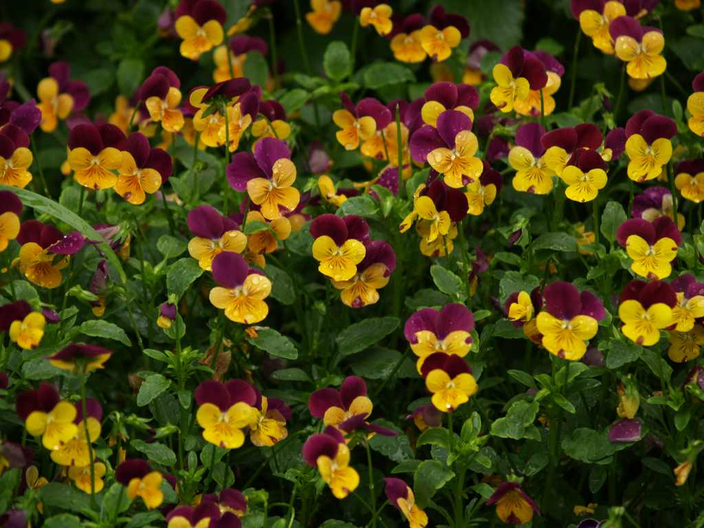 Time to plant pansies east texas gardening what izmirmasajfo