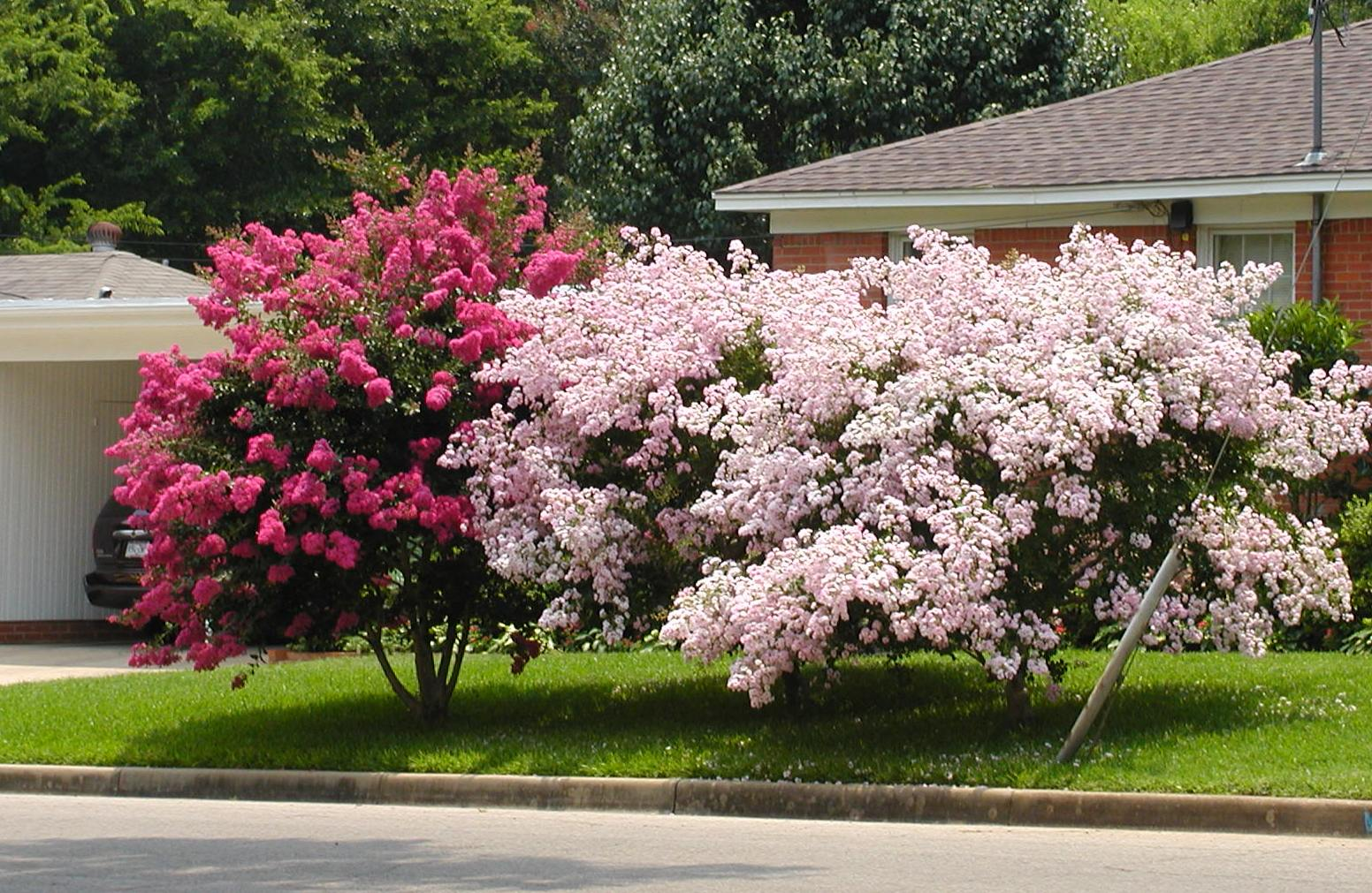 Crapemyrtles For Great Summer Color East Texas Gardening