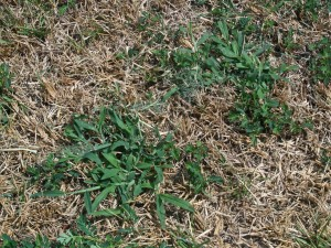 Dead St. Augustinegrass punctuated with healthy crabgrass is a good clue that chinch bugs are present, since they don't seem to like crabgrass nearly as much as St. Augustine.