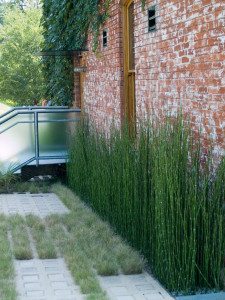 Horsetail has great architectural features that makes it an attractive choice for designers, but it spreads aggressively by underground rhizomes and is difficult to eradicate where it is unwanted.