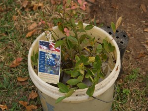 Blueberries need more than one variety for best pollination. Soak root ball thoroughly prior to planting.
