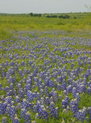 How Many State Flowers Does Texas Have Harris County Horticulture