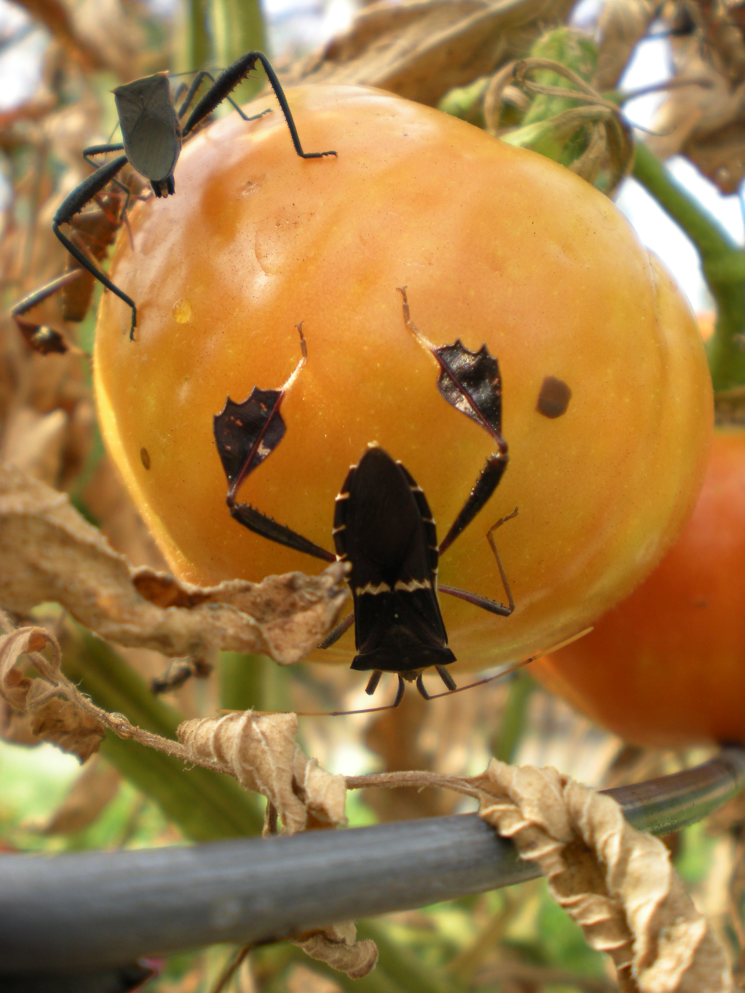 Finding Leaf-footed Bugs in Your Tomatoes? | Harris County ...