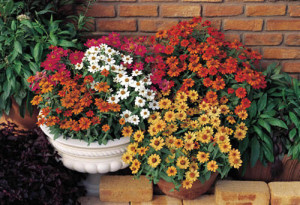 Zinnias are an excellent annual to have in the garden since they are constantly flowering, providing a source of pollen for the beneficial insects.