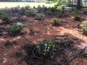Earth-Kind azalea trial with 10 varieties and 4 replications per variety.