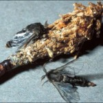 Fig. 3. Male bagworm moths around bag in which male pupal skin emerged