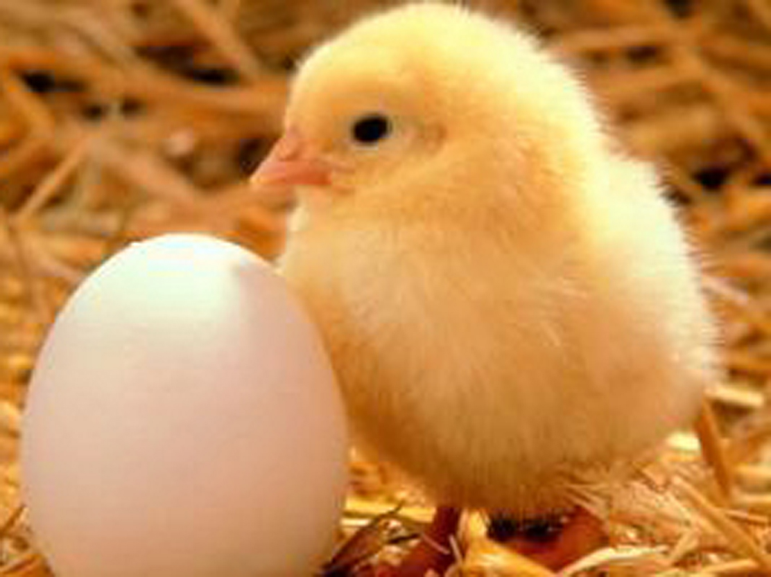 Image result for chick hatching