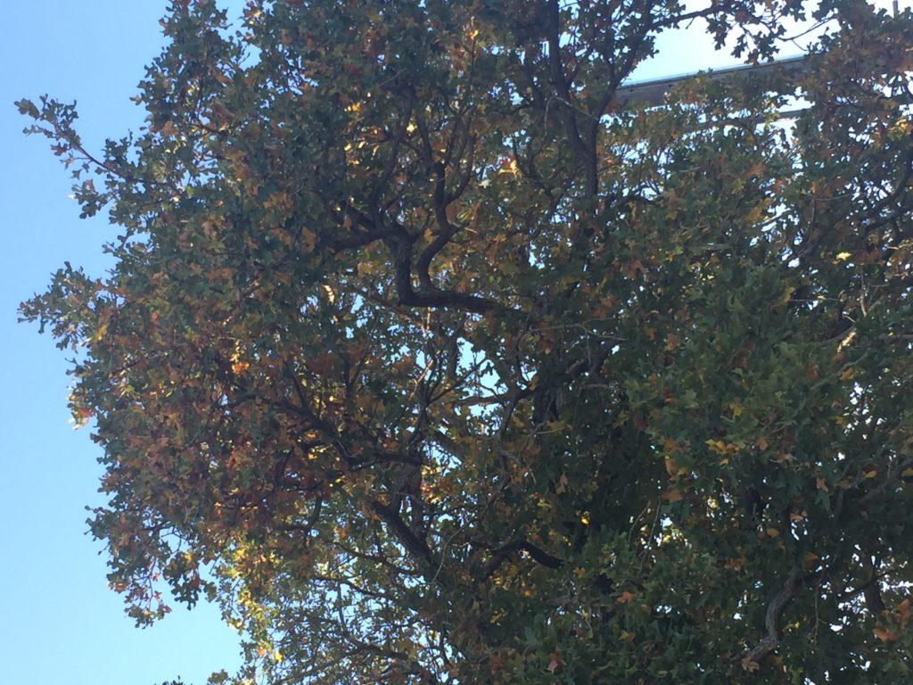 Dying or dead leaves on Post Oak