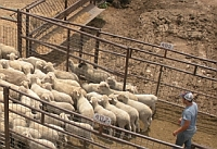 Factors affecting price differences between wool and hair lambs in San Angelo, TX