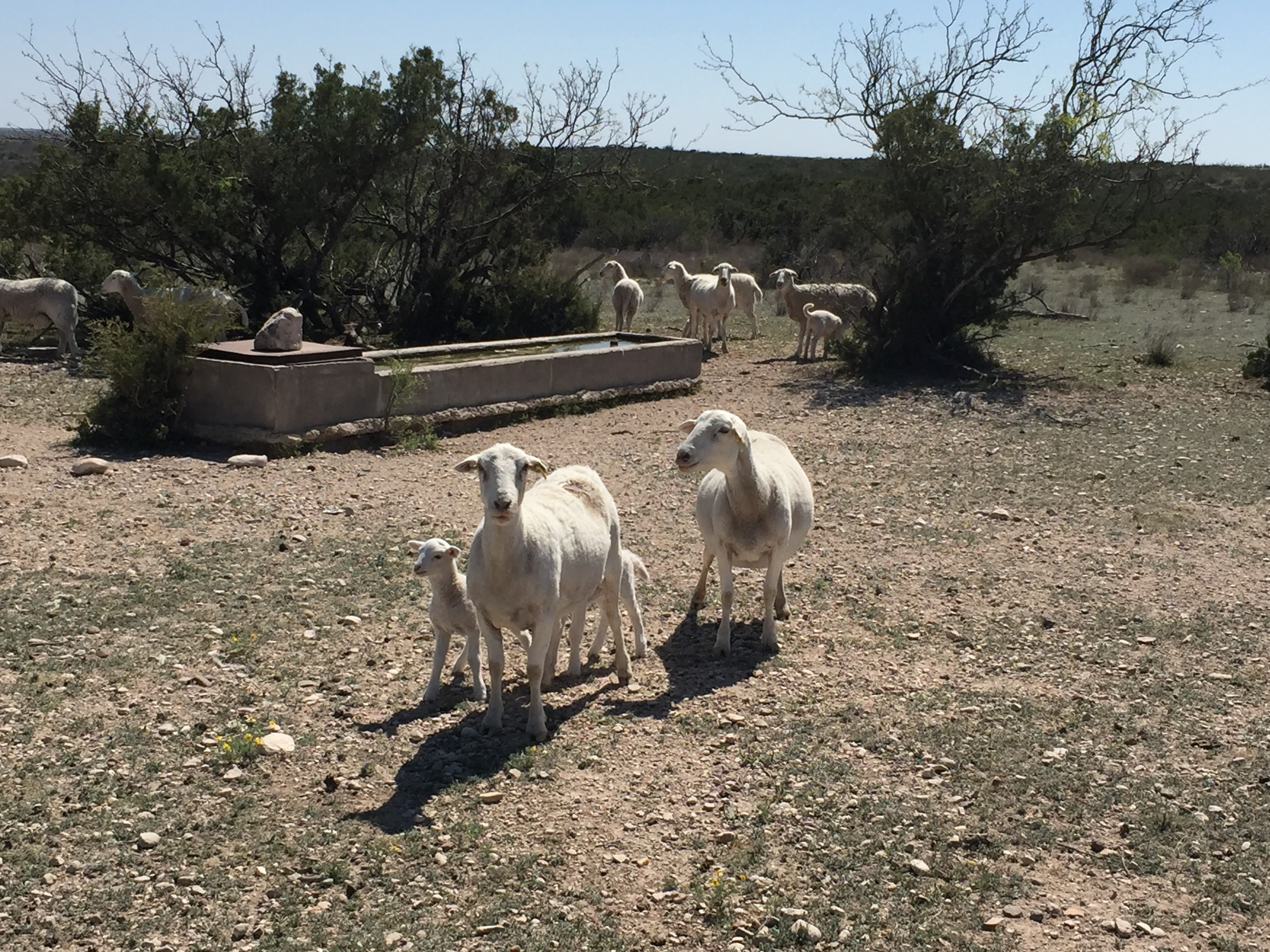 Sheep And Goats – Page 2 – Staying Up-to-Date on Sheep and Goats