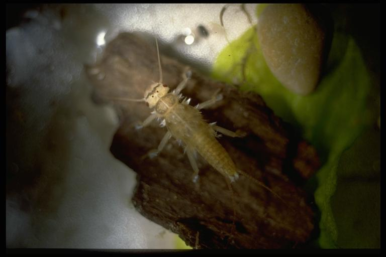 A stonefly, (Plecoptera), nymph. Photo by Drees.