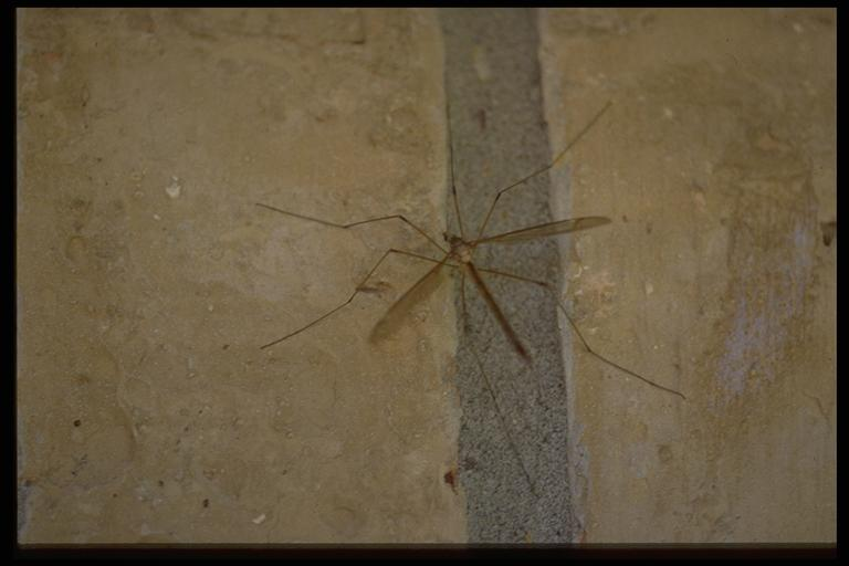 A crane fly, (Diptera: Tipulidae). Photo by Drees.