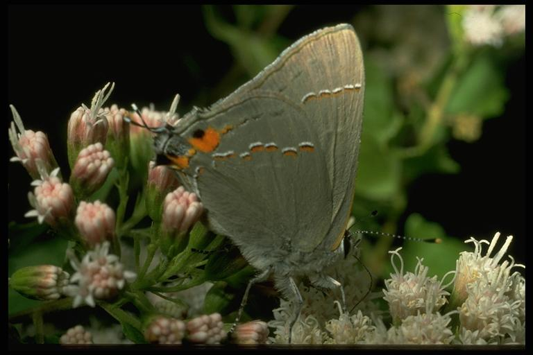 Cotton square borer or gray hairstreak, Strymon melinus Hübner (Lepidoptera: Lycaenidae). Photo by Drees.