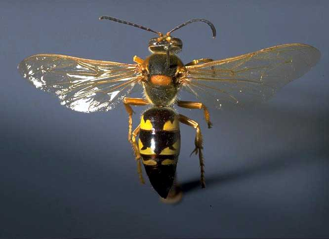 Cicada killer, Sphecius speciosus (Hymenoptera: Sphecidae). Photo by Drees.