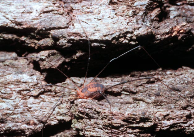 A harvestman, (Opiliones). Photo by Drees.