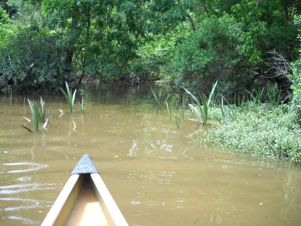 Wooded view of Sims Bayou with Irises emerging from the brown bayou water in the middle ground and the front of a canoe in the foreground