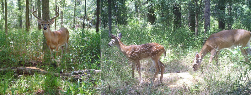 Photo credit: TPWD. White-tailed deer in East Texas