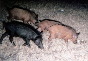 Wild pigs, commonly known as feral hogs, are known to predate quail nests and eat their eggs. (Texas A&M AgriLife Research photo)