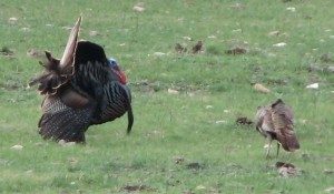 Gobblers attract a hen's attention by gobbling and strutting.