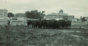 cows graze in front of a building